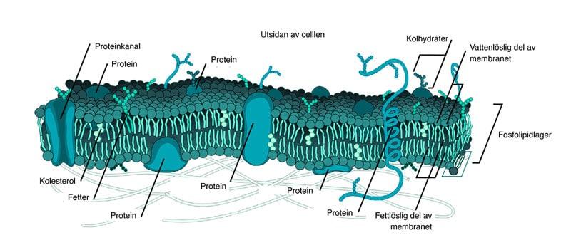 Trasiga cellmembran kan leda till utmattning och kronisk trötthet