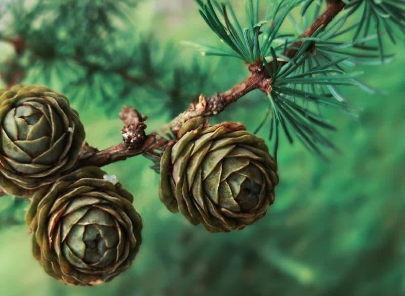 Fibern arabinogalaktan kommer från lärkträd