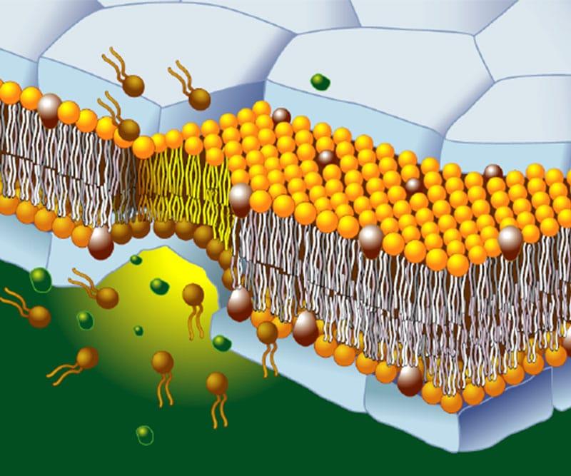 Trasiga cellmembran kan leda till mindre energi